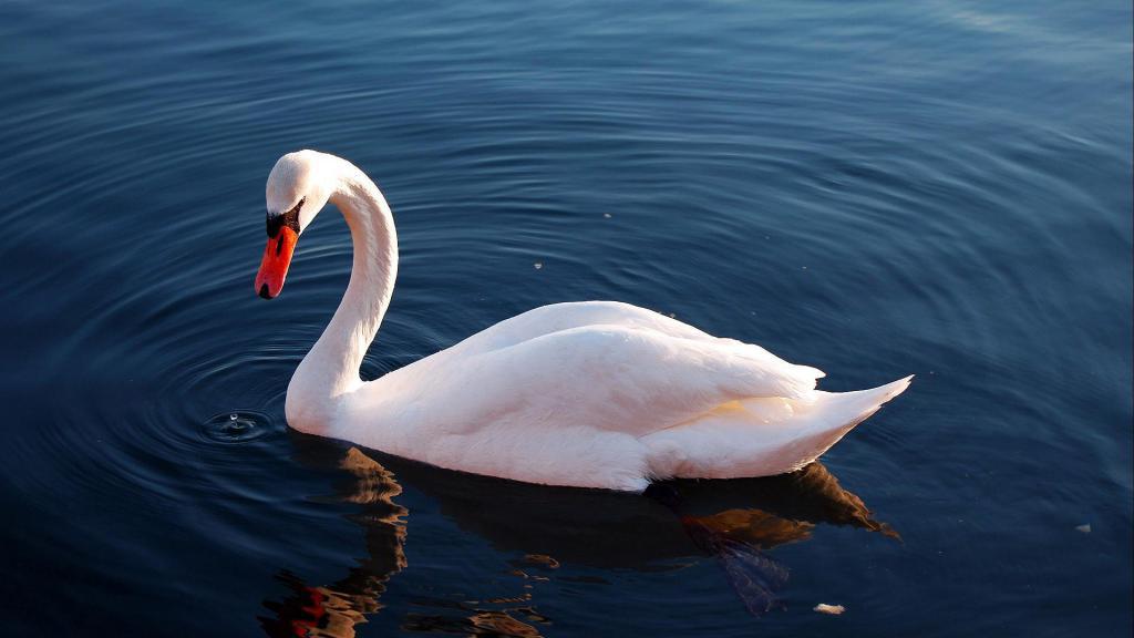 Белый лебедь, скачать обои птицы природа, 1920 на 1080 пикселей