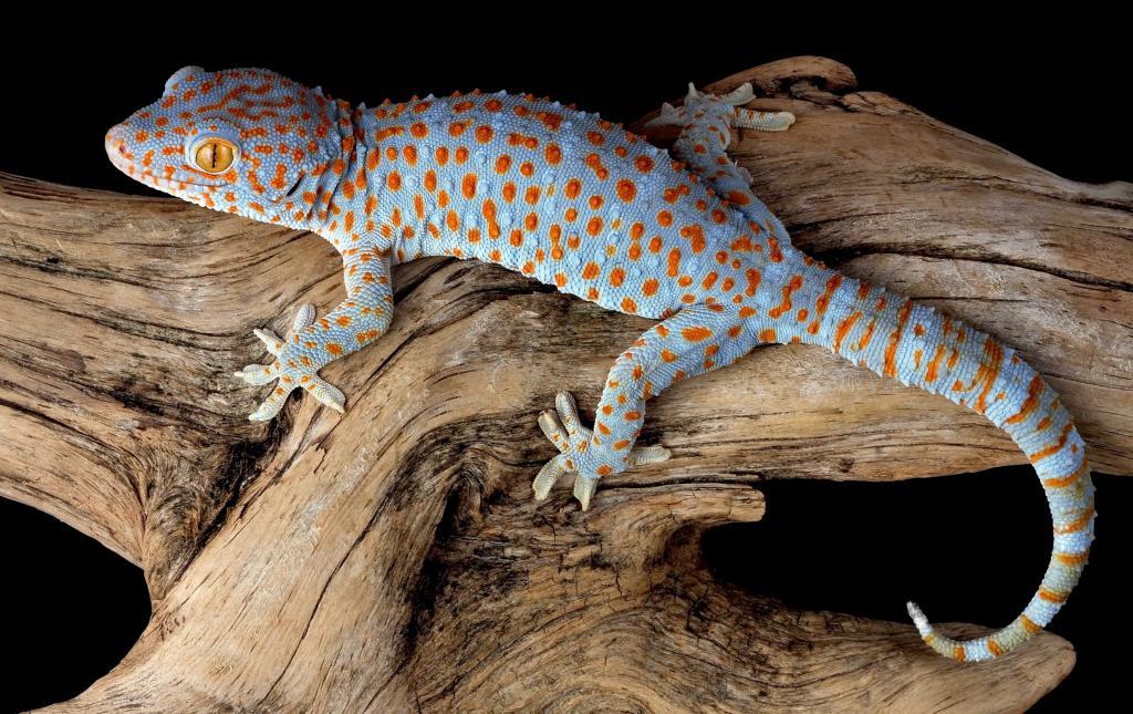 Голубой гекон wallpaper, рептилии фото, 3808 на 2400 пикселей
