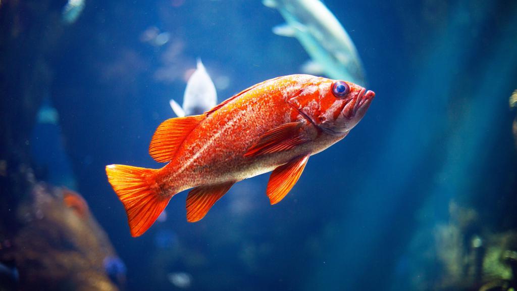 Красивая красная рыбка под водой, обои для стола рыбы, 2560 на 1440 пикселей