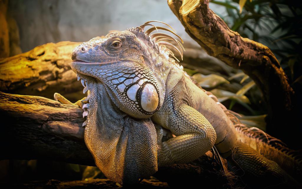 Огромная игуана, рептилии фотографии, 2560 на 1600 пикселей