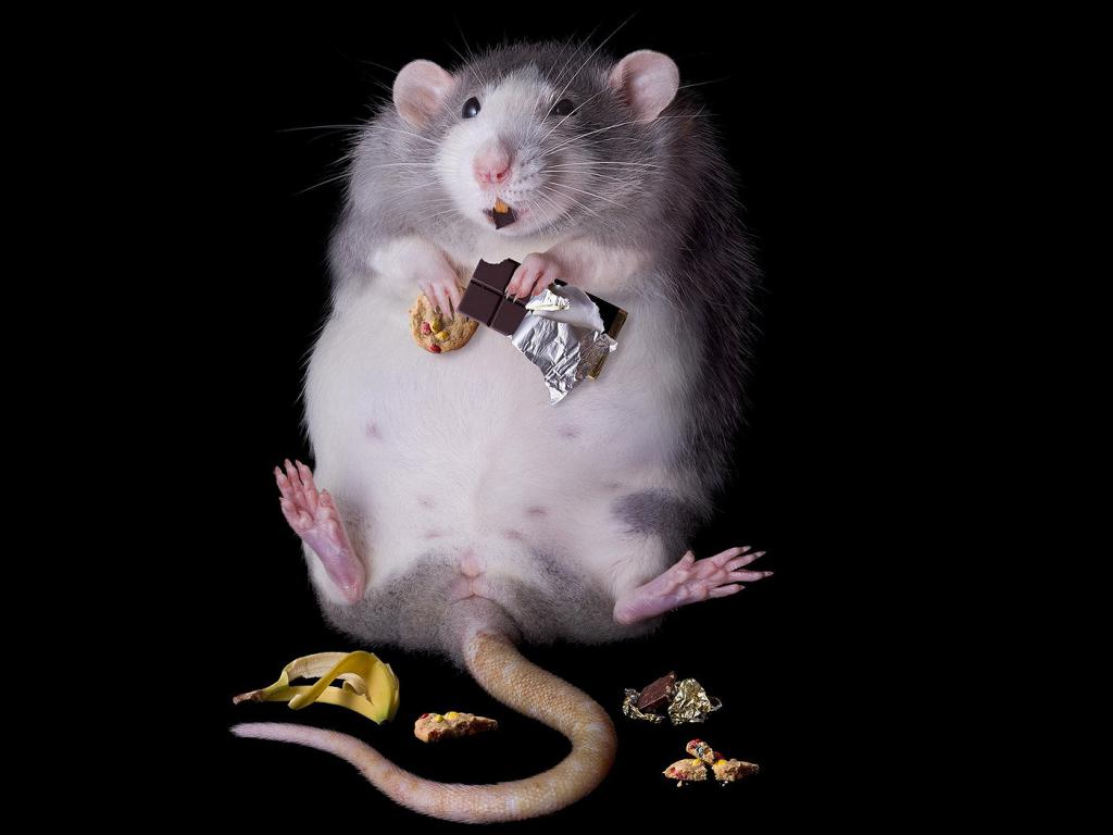 Толстая серая крыса, грызун, прикольные обои на телефон айфон, 1400 на 1050 пикселей