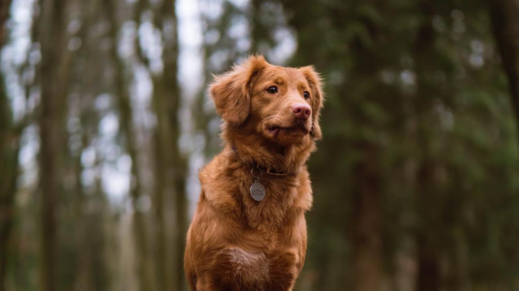 Рыжий пёс с моделью на шее, картинки обои на телефон собаки, 2560 на 1440 пикселей