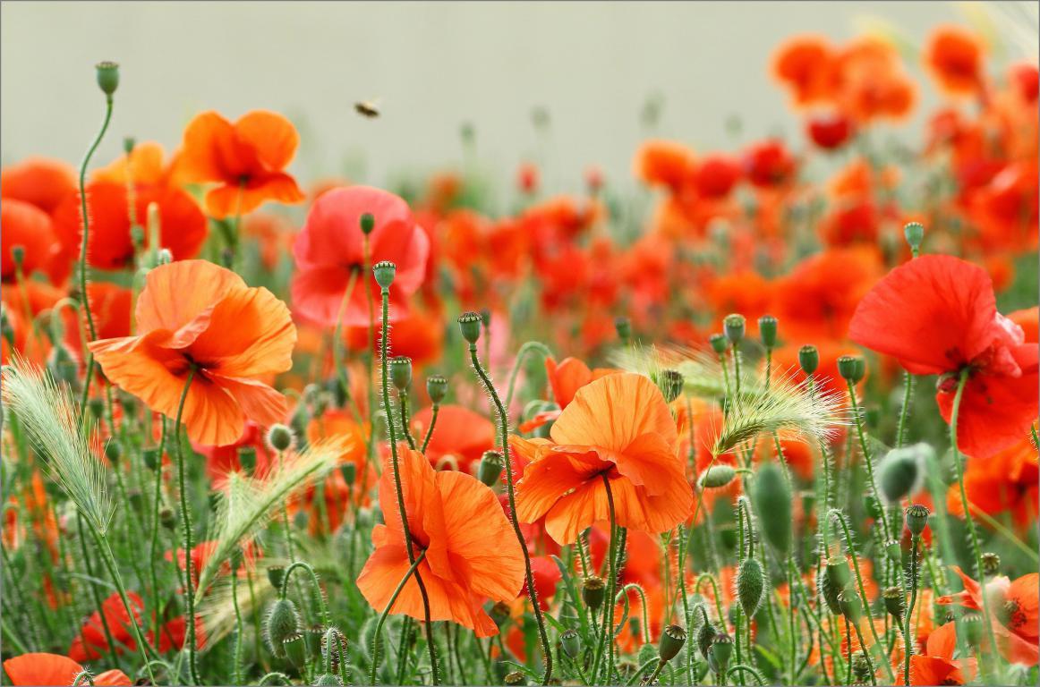 Маковое поле среды пшеницы, цветы, природа, 4600 на 3040 пикселей