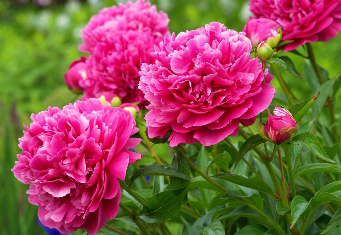 Обои на рабочий стол цветы пионы, природа, 2250 на 1550 пикселей